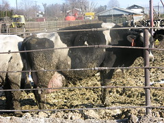 A cow on a dairy CAFO