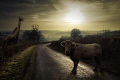 Bestial serie (Aur from Paris) Tags: road france photoshop dark cow photomontage giraffe lowkey bourgogne girafe bestial ctedor aur lemorvan 5dmarkii eos5dmkii