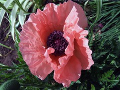 PAPAVER orientale 'Turkish Delight'