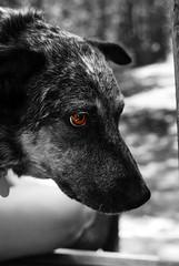Dog (Nunziray) Tags: coyote bw dog white black dogs outside outdoors eyes raynunzi