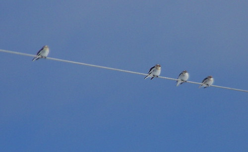 Snow Buntings - 1 by you.