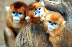 Golden snub nosed monkey (floridapfe) Tags: face animal zoo nikon korea soe everland  goldenmonkey goldensnubnosedmonkey d80 aplusphoto theunforgettablepictures vosplusbellesphotos