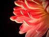 Make Believe (Jenn (ovaunda)) Tags: pink black flower macro floral blackbackground night dark utah lowlight sony onblack cedarcity naturesfinest dsch5 photofaceoffplatinum pfogold pfosilver thechallengefactory agcg jennovaunda ovaunda capturemyutah