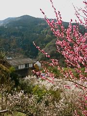 Misato (Waldmart) Tags: japan tokushima ume plumblossom misato yamakawa