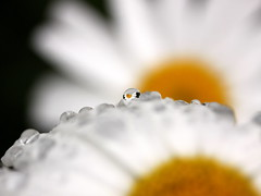 sunny side up (jenny downing) Tags: white canada blur flower water rain yellow daisies petals blurry waterdrop bc bright bokeh britishcolumbia blurred explore vancouverisland refraction daisy raindrops delicate waterdroplets sunnysideup michaelmasdaisy michaelmas explored friedorboiled jennypics jennydowning photobyjennydowning jennydowning2009