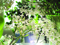 White Lilacs (Kim Yokota) Tags: greenery whitelilacs delicatewhiteflowers greenglassvase stemsandleaves