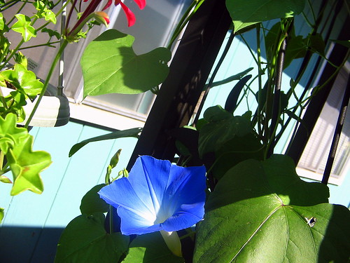 blue bloom