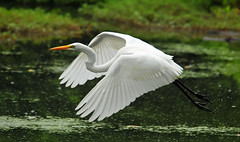 Egret Close Fly-By (ozoni11) Tags: lake bird nature water birds animal animals interestingness nikon lakes explore egret egre