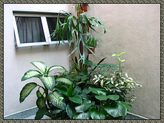 Foliage plants at our courtyard, including Spotted Dracaena at the extreme right, August 9 2009