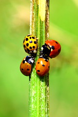 The fellowship of the dot. (kees straver (will be back online soon friends)) Tags: red black macro green nature amsterdam bug insect leaf bokeh beetle bugs ladybird ladybug lordoftherings dots diemen specanimal keesstraver