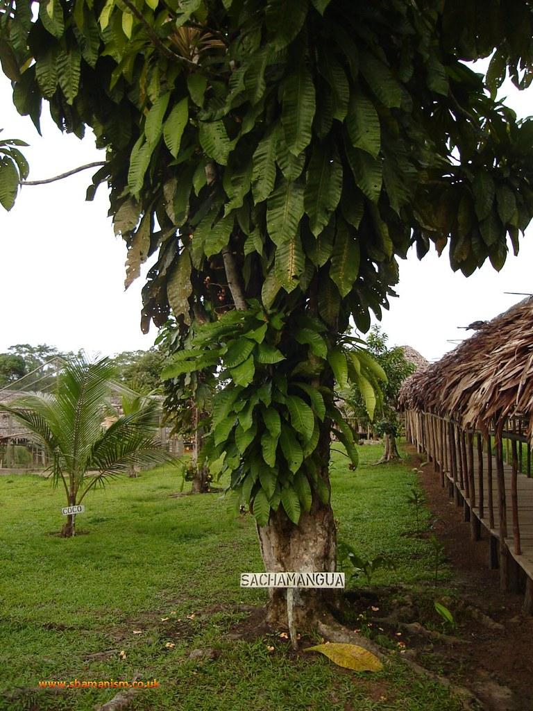 Sachamangua tree - Grias peruviana