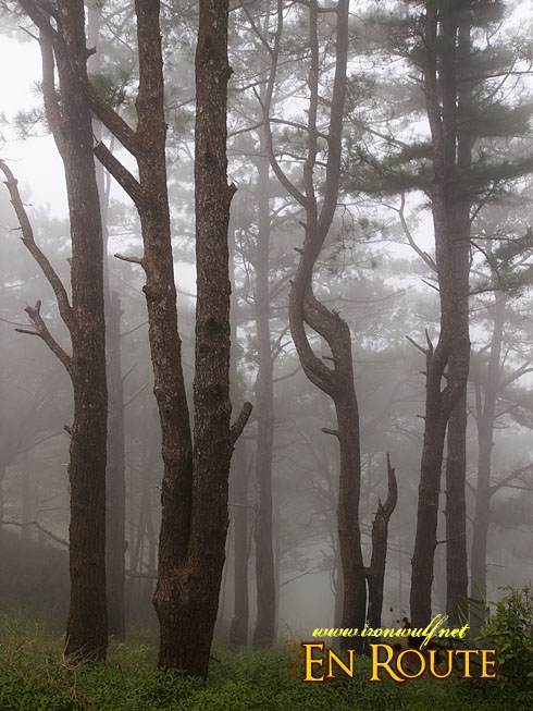 Salacasac Pine Forest Foggy