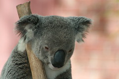 Koala Pics!! (juleen57) Tags: zoo koalas animallovers hiddentreasure commentonmycuteness canon400d diamondheart australianfemalephotographers flickrgoldenphoto arealgem worldnaturewildlifecloseup flickrfavouriteanimal