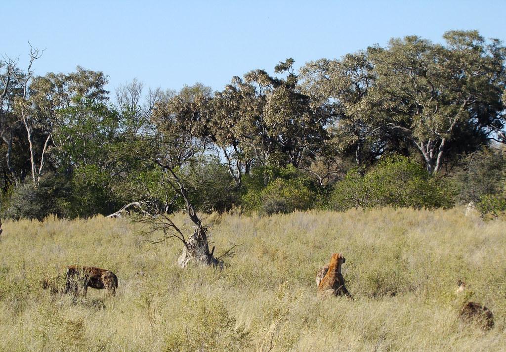 DSC07670 Hyena Sentries