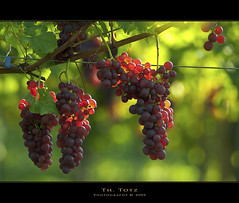 Trauben wine grapes (def110) Tags: germany wine bokeh glorious grapes redwine freiburg reben wein trauben lightroom rubin sumptuous 8020028 digitalcameraclub d80 nikond80