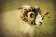 Curly horned Ram (Abbie Lou) Tags: autumn texture horns curly processi