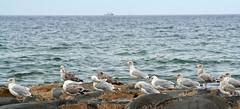 11 September 2009 (Copperhobnob) Tags: sea sky seagulls seaweed boat rocks waves aberdeenshire gulls stcombsbeach