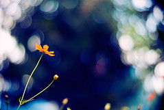 however often I may try (moaan) Tags: life leica blue sky flower color digital 50mm flora dof bokeh f10 repetition utata m8 bloom flowering noctilux hue 2009 cosmos blooming overandover inbloom orangecosmos uptothesky 黄花コスモス cosmossulphureus explored againandagain inlife reiteration leicam8 leicanoctilux50mmf10 gettyimagesjapanq1 gettyimagesjapanq2