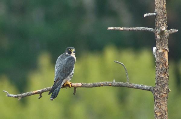 A yard bird
