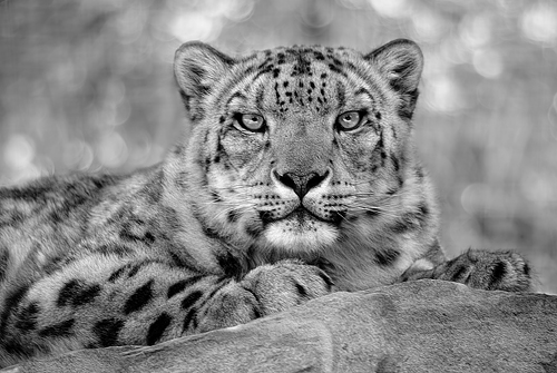 Panthera  3945364115_a7e67cf6ea
