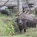 Karibou (Water Buffalo)