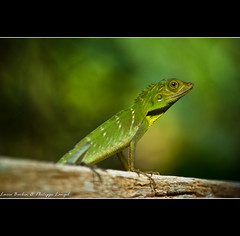 Lizzard in the jungle - Green & Green (Lucie et Philippe) Tags: voyage trip travel sarawak borneo animaux malaisie lzard beautifulmonsters