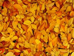 autum leaves 2 (blumblaum) Tags: leaves yellow germany deutschland autum gelb bltter nordenham niedersachsen