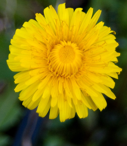 Dandelion by corkytoadhall