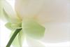 Lotus Flower - IMG_4521-1000 (Bahman Farzad) Tags: flower macro yoga peace waterlily lotus relaxing peaceful meditation therapy lotusflower lotuspetal lotuspetals lotusflowerpetals lotusflowerpetal
