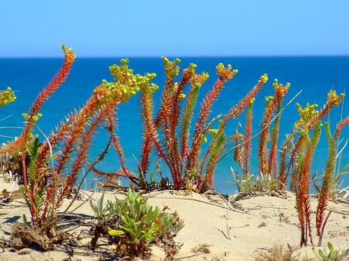 beach-flora