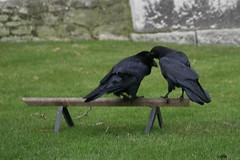black crows (chuey821) Tags: england toweroflondon ravens dec2008