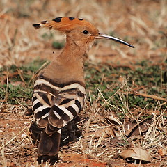 bird birds upupaepops hoopoe commonhoopoe