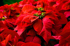 BS553.019 Red Poinsettia (listentoreason) Tags: red usa plant flower color nature america canon unitedstates pennsylvania poinsettia favorites places longwoodgardens floweringplant angiospermae dicot magnoliophyta magnoliopsida angiosperm ef28135mmf3556isusm score40 malpighiales eudicot eudicotyledon