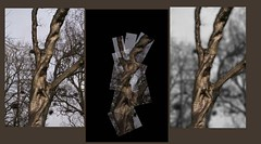 knobbly tree (Wendy:) Tags: trees photoshop panography herbertpark panograph