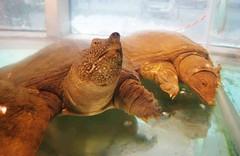 Trionychidae  (aquarium in the seafood restaurant) (Mel@photo break) Tags: china sea food fish aquarium mel guangdong seafood melinda   restautant   zhanjiang trionychidae  chanmelmel