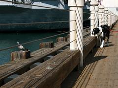 Bird Hunting (gigapod) Tags: dog bird sandiego hunting olympus embarcadero e3 50200mm zuiko seaportvillage coronadobridge