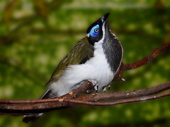 Blauohr-Honigfresser / Blue-faced Honeyeater (Entomyzon cyanotis) (Sexecutioner) Tags: portrait bird nature birds animal animals digital canon germany deutschland zoo tiere colorful wildlife natur australia bluefacedhoneyeater entomyzoncyanotis australien vgel wuppertal 2009 nordrheinwestfalen tier vogel zoos deuschland zoowuppertal meliphagidae whitequilledhoneyeater avianexcellence blauwwanghoningeter mliphageoreillonsbleus blauohrhonigfresser vosplusbellesphotos thewonderfulworldofbirds copyrightsexecutioner medosavkamodrolcmedozobka  mangiamielefacciaazzurra pjaromieldecaraazul blmaskethonningder mielerocariazu sininaamamesikko   sodnikmodrolicy