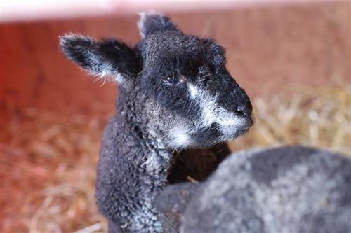 Lottie - Ryeland Lamb