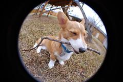 happy stick (GoGoRainbow) Tags: distortion feet circle puppy corgi fisheye pooka