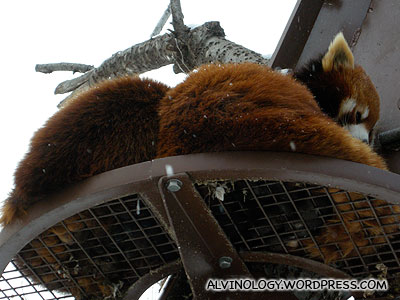 Two more red pandas up the tree
