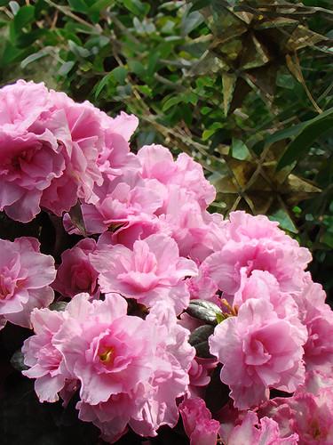 Pink Azeleas