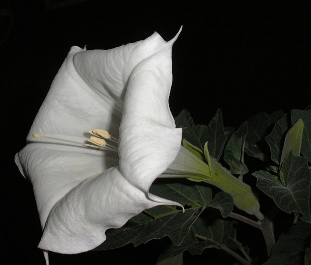 Datura in bloom 2 (4/19/09)