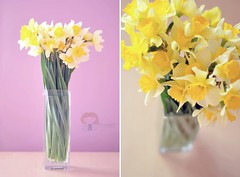 Earth laughs in flowers. (zuzana_nz) Tags: flowers diptych explore daffodil vase springhassprung earthlaughsinflowers hnff niftyfiftyfriday beautyoftheflower