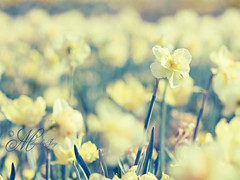 Yellow Makes Me Happy! TGIF! (mjmatt) Tags: bokeh dallasarboretum narcissus 85mm18 visionqualitygroup