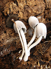 Unidentified Mushrooms (Furryscaly) Tags: wood white rot mushroom rotting mushrooms id fungi cap fungus unknown identification decomposition seta identify shrooms mycology stalks basidiomycota unidentified gills stip whitemushroom rottingwood decomposing whitefungus mushroomcap setae lamellae agaricales stips lamella rottinglog taxonomy:kingdom=fungi taxonomy:phylum=basidiomycota agaricomycetes psathyrellaceae taxonomybinomial stipitate