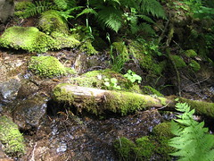 water and ferns (c'estbonne) Tags: mountain lake tree nature forest montana cabinet hike cedar hemlock stpaullake