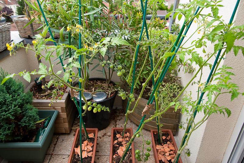 Débutant Tomates Cerise: le temps de premières récoltes ...