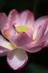 HBW with Nelumbo nucifera (Apricot Cafe) Tags: pink white flower yellow japan tokyo tamronspaf90mmf28dimacromodel272e yakushiikepark colourartaward platinumheartaward lotus nelumbonucifera