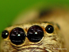 PAGE 1: The Catchlight Caught My Watermark (mang M) Tags: macro insect spider eyes arachnid philippines jumper botanicalgarden jumpingspider filipinas watermark pilipinas losbanos aran