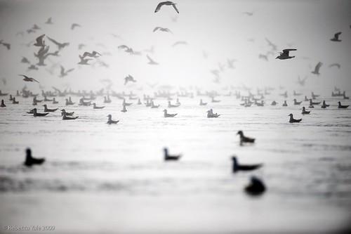 Kittiwakes flock Monacobreen, Svalbard